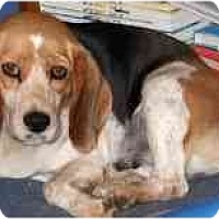 Adopt A Pet :: Heidi - Novi, MI