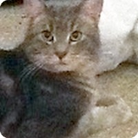 Domestic Shorthair Cat for adoption in Toledo, Ohio - Grey