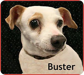 Chihuahua Mix Dog for adoption in Houston, Texas - Buster