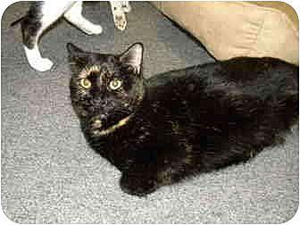 Domestic Shorthair Cat for adoption in Bartlett, Illinois - Velvet