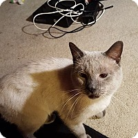 Adopt A Pet :: Houdini - Fairborn, OH