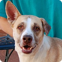 Shepherd (Unknown Type) Mix Dog for adoption in Las Vegas, Nevada - Sandra