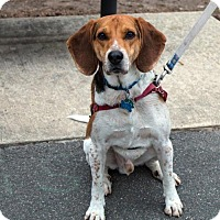 Adopt A Pet :: Bogo - Westwood, NJ