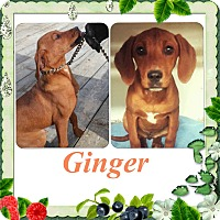Adopt A Pet :: Ginger IN CT - Manchester, CT