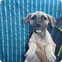 Adopt A Pet :: Gala - Oviedo, FL