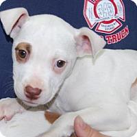 Adopt A Pet :: Krystal - Brooklyn, NY