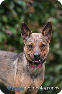 German Shepherd Dog Mix Dog for adoption in Mesquite, Texas - Dakota