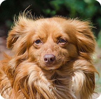Dachshund Mix Dog for adoption in Lodi, California - Brody