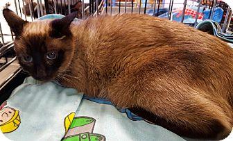 Siamese Cat for adoption in Arcadia, California - Koku
