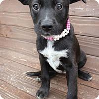 Adopt A Pet :: Trixie - Penngrove, CA