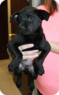Labrador Retriever Mix Puppy for adoption in GREENLAWN, New York - Blu