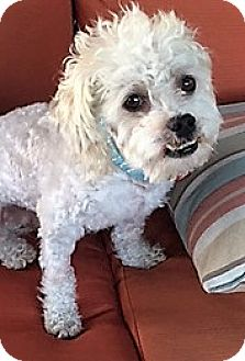 Lhasa Apso/Poodle (Miniature) Mix Dog for adoption in San Juan Capistrano, California - Walter