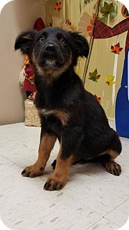 Shepherd (Unknown Type) Mix Puppy for adoption in New York, New York - Reese