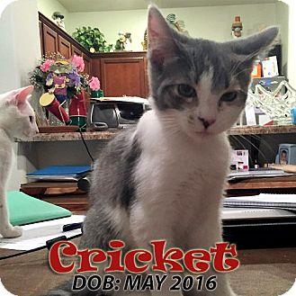 Domestic Shorthair Kitten for adoption in Chandler, Arizona - Cricket