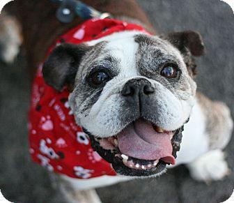 English Bulldog Dog for adoption in Canoga Park, California - Becky