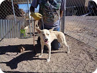 Shepherd (Unknown Type)/Hound (Unknown Type) Mix Dog for adoption in Golden Valley, Arizona - Lily