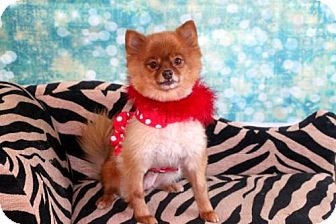 Pomeranian Dog for adoption in Dallas, Texas - Porygon
