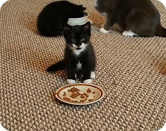 Domestic Mediumhair Cat for adoption in St. Johnsbury, Vermont - Nibs