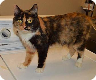 Domestic Shorthair Cat for adoption in Ashtabula, Ohio - Consuela
