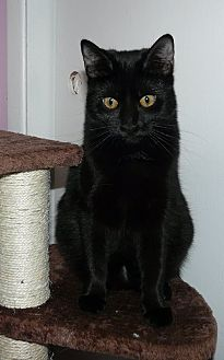 Domestic Shorthair Kitten for adoption in Middletown, Ohio - Jade
