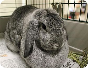 Lop-Eared Mix for adoption in Concord, New Hampshire - Cookie