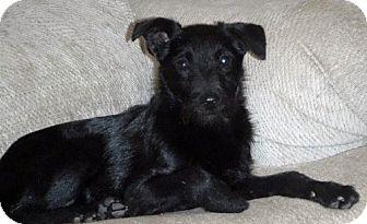 Miniature Schnauzer Mix Dog for adoption in Peralta, New Mexico - **PRETZEL