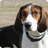 Coonhound Mix Dog for adoption in Troy, Illinois - Hunter