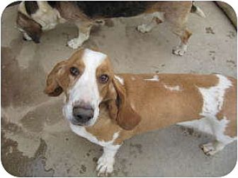 Basset Hound Mix Dog for adoption in Acton, California - Jenna
