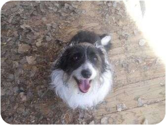 Corgi/Bichon Frise Mix Dog for adoption in Ft. Collins, Colorado - Frankie
