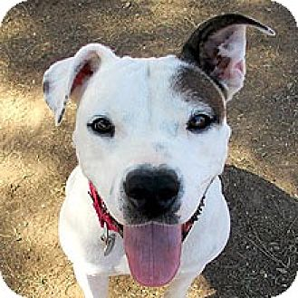 Terrier (Unknown Type, Medium)/Dalmatian Mix Dog for adoption in Phoenix, Arizona - Ruby