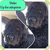 Adopt A Pet :: RI DUKE - W. Warwick, RI