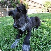 Adopt A Pet :: TOBY - Mission Viejo, CA