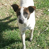 Blue Heeler/Cattle Dog Mix Dog for adoption in San Antonio, Texas - Ace