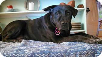 German Shepherd Dog/Chow Chow Mix Dog for adoption in Tampa, Florida - Poe