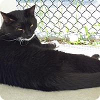 Adopt A Pet :: Venus - Shaftsbury, VT