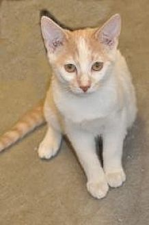 Domestic Shorthair Kitten for adoption in Pompano Beach, Florida - Boca Sammy