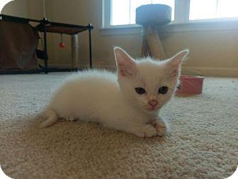 Domestic Shorthair Kitten for adoption in Herndon, Virginia - Isa