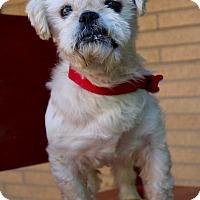 Shih Tzu Dog for adoption in Munster, Indiana - Bogart