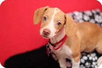 Dachshund/Beagle Mix Puppy for adoption in Phoenix, Arizona - Archie