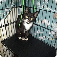 Domestic Shorthair Cat for adoption in Staten Island, New York - Tux
