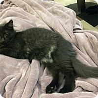 Domestic Shorthair Kitten for adoption in Mississauga, Ontario, Ontario - Aughra