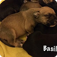 Pit Bull Terrier Mix Puppy for adoption in Durham, North Carolina - Basil