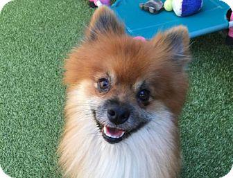 Pomeranian Dog for adoption in Dallas, Texas - Bryan