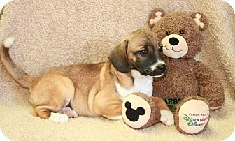 Pug/Beagle Mix Puppy for adoption in Plainfield, Connecticut - Oprah