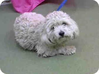 Poodle (Miniature) Mix Dog for adoption in San Bernardino, California - URGENT on 12/3 @DEVORE