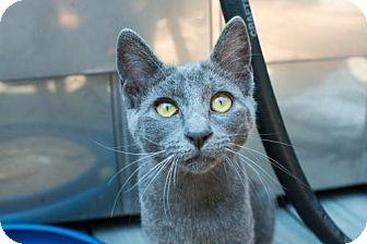 Russian Blue Cat for adoption in El Segundo, California - LIZZY