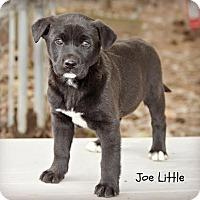 Adopt A Pet :: Joe Little - Glastonbury, CT