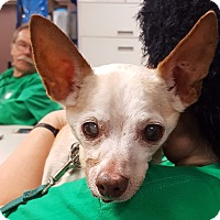Chihuahua Mix Dog for adoption in Grayslake, Illinois - Tater Tot