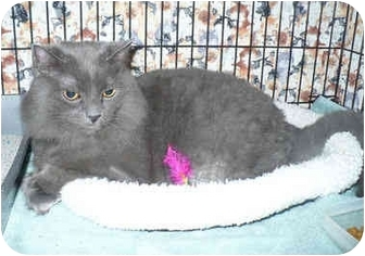 Domestic Longhair Cat for adoption in Colmar, Pennsylvania - Bay