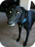 Whippet/Labrador Retriever Mix Dog for adoption in Alliance, Nebraska - Duke